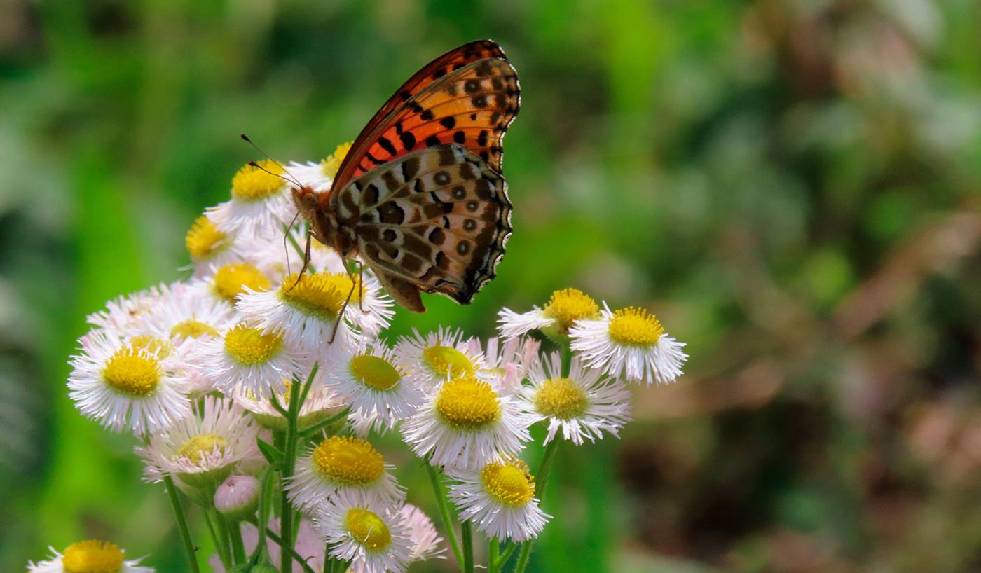 衣笠山の植物1ハルジオンと蝶